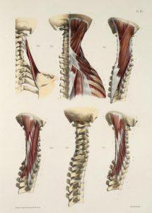 首周辺の骨と筋肉の解剖図
