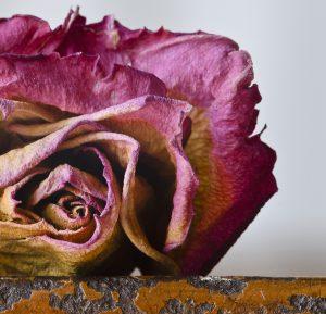 枯れゆくバラの花