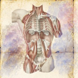 腹腔(腸腰筋と横隔膜)