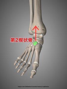 intermediate cuneiform bone