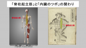 erector spinae and acupuncture point